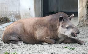 Amerikan Tapiri