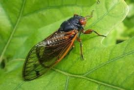 Ağustos Böceği