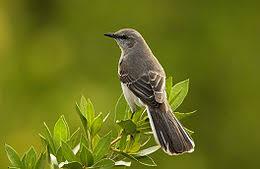 Alaycı Kuş